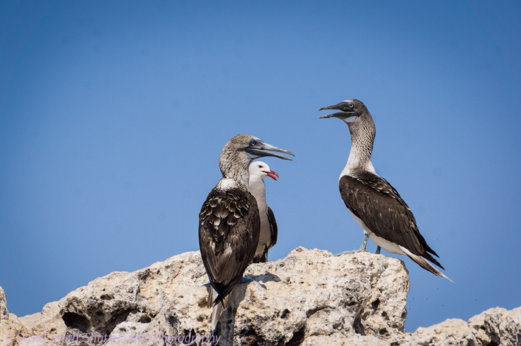 Two blue footed booby birds on Marietas Islands.